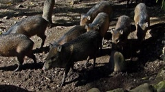 Peccary pigs in zoo. Stock Footage