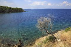 Lonely dry tree at the edge of Aegean coast. - stock photo