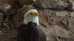 American bald eagle turns his head and shouts, close up. Stock Footage
