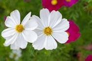 Stock Photo of pink cosmos flowers