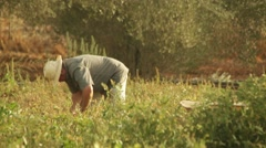 Farmer Farming Healthy Organic Food Harvest Orchard In Summer Stock Footage