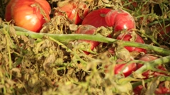 Tomatoes Plant Farming Organic Food Close up shot Stock Footage