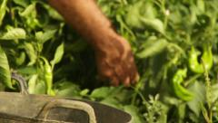 Peppers Organic Food Farmer Farming Close up shot Stock Footage