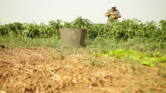 Peppers Organic Food Farmer Farming Slider shot Stock Footage