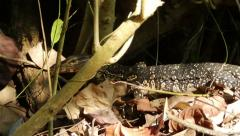 Large spotted lizard sneaks among the branches. Stock Footage