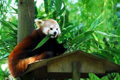 Red panda eating leaves Stock Photos