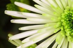 white chrysanthemum bristle flower - stock photo
