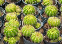 golden ball cactus - stock photo