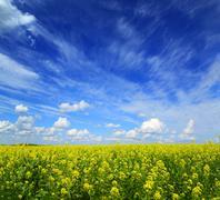 Beautiful flowering rapeseed field under blue sky Stock Photos