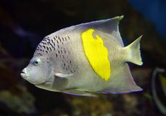 angelfish - pomacanthus, maculosus - stock photo