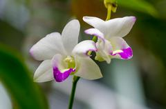 Stock Photo of white orchid flower
