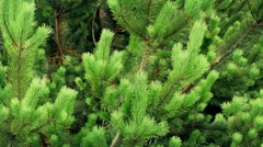 Bushy Green Fir Tree - stock footage