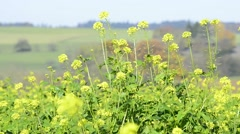Mustard, green manure Stock Footage