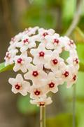 white hoya flowers - stock photo