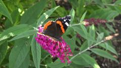 red admiral butterfly feeds on lilac buddleia bush - stock footage