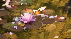 VanDusen Botanical Garden Lotus Stock Footage