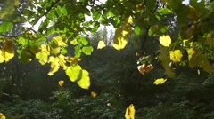 Autumn leaves on branch fall in slow motion - stock footage
