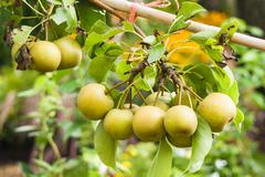 asian pears on fruit tree - stock photo