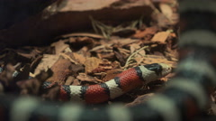 4K Coiled King Snake Slithers Framed By Body Stock Footage