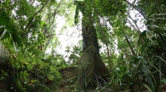 Fig tree - Temperate Rainforest Australian Landscape Stock Footage