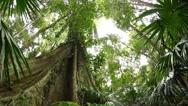 Stock Video Footage of Fig tree - Temperate Rainforest Australian Landscape
