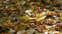 Colorful leaves in autumn forest. Stock Footage