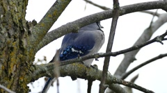 Blue Jay (Cyanocitta cristata) perched on branch and looking around curiously Stock Footage