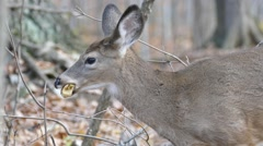 Closeup of deer's head eating and chewing on a tree leaf in the forest Stock Footage