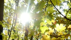 Rainbow rays sun, yellow maple leaf Stock Footage