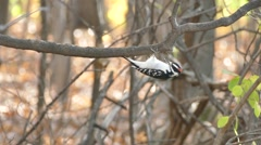 Downy Woodpecker (Picoides pubescens) resting upside down and taking off Stock Footage