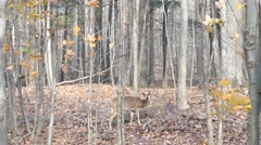 Deer munching on leaves in the forest with two blujays in the background - stock footage