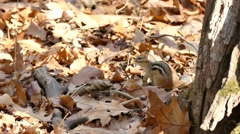 Chipmunk jumping in dead autumn leaves and fleeing away Stock Footage
