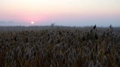 Sunrise over reed in a field in autumn Stock Footage