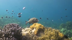 Harlequin Sweetlip on a Coral Reef Stock Footage