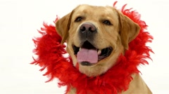 Valentine Labrador puppy dog and red glitter heart isolated on white. - stock footage