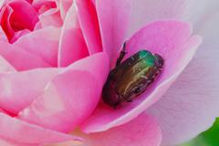 macro photography of rose chafer on pink rose - stock photo