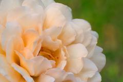 buff beauty rose - stock photo