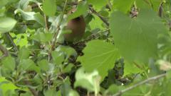 Cedar Waxwing (Bombycilla cedrorum) adult leaving its nest - stock footage