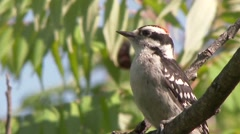 Downy Woodpecker (Picoides pubescens) sitting on branch on colorful background Stock Footage
