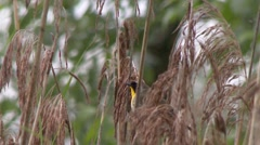 Common Yellowthroat (Geothlypis trichas) vocalizing on typha branches Stock Footage