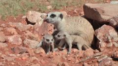 mother meerkat takes care of their offspring 5.5 - stock footage