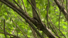 American Redstart (Setophaga ruticilla) jumping and catching small bug Stock Footage