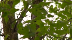 White-Breasted Nuthatch (Sitta carolinensis) hiding with bugs in its mouth Stock Footage
