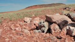 Meerkat family with babies leaves burrow 5.6 Stock Footage