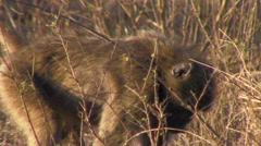 2447 Baboon Looking For Food to Eat in Africa, HD  Stock Footage