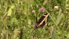 Butterfly Easter Black Swallowtail (Papilio polyxenes) feeding on purple flower - stock footage