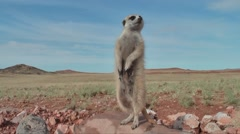 Meerkat mother with teat on lookout 6.1 Stock Footage
