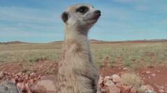 meerkat guard portrait, looking watchful around 6.2 - stock footage