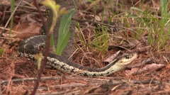 Common Garter Snake (Thamnophis sirtalis) moving backward Stock Footage
