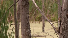 wood duck (Aix sponsa) swimming ahead in marsh with brush and trees - stock footage